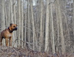 Animals___Dogs_Lonely_boxer_in_the_empty_forest_050433_